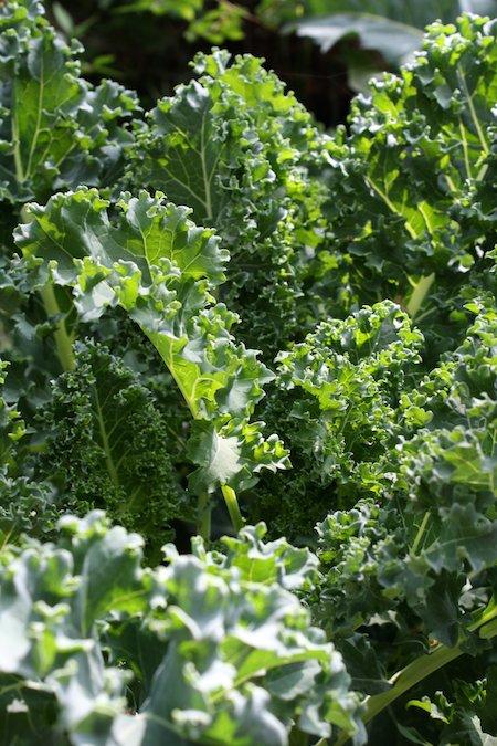 Food Travelist Growing Kale