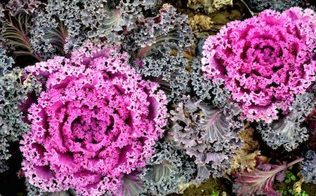 Food Travelist ornamental purple kale