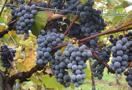 Food Travelist Gamay Grapes