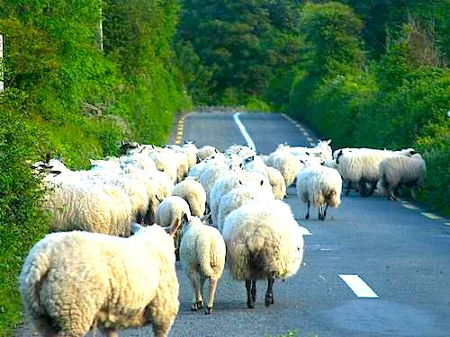 Sheep on the road in Ireland
