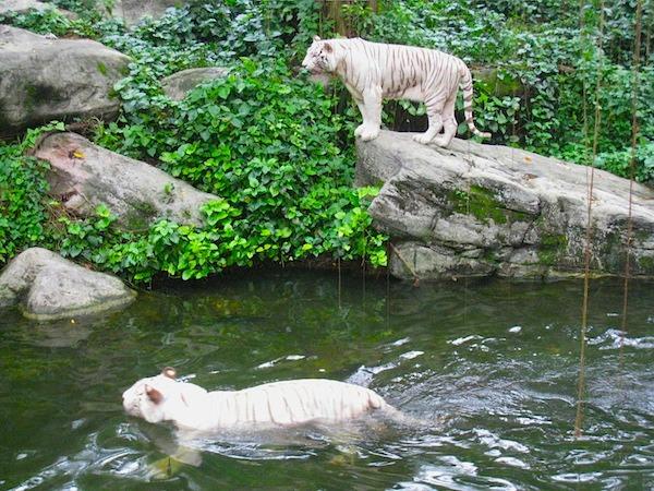 White Tigers Singapore Zoo