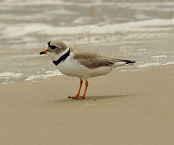 Piping Plover in Northern Michigan. Traverse City