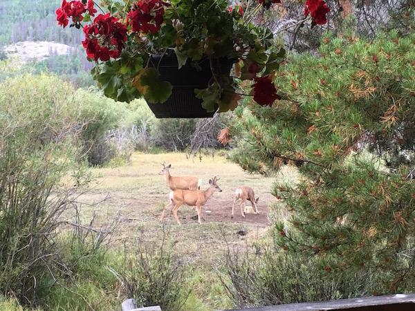 dear-in-our-back-yard-rawah-ranch