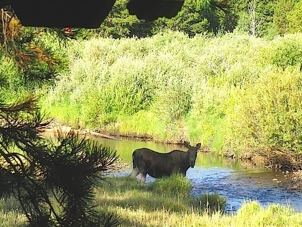 moose-in-our-backyard-at-rawah-ranch