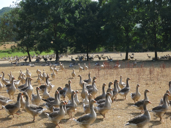 goose-farm-gers-france