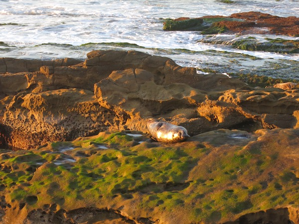 Seals taking a sunny nap in La Jolla.