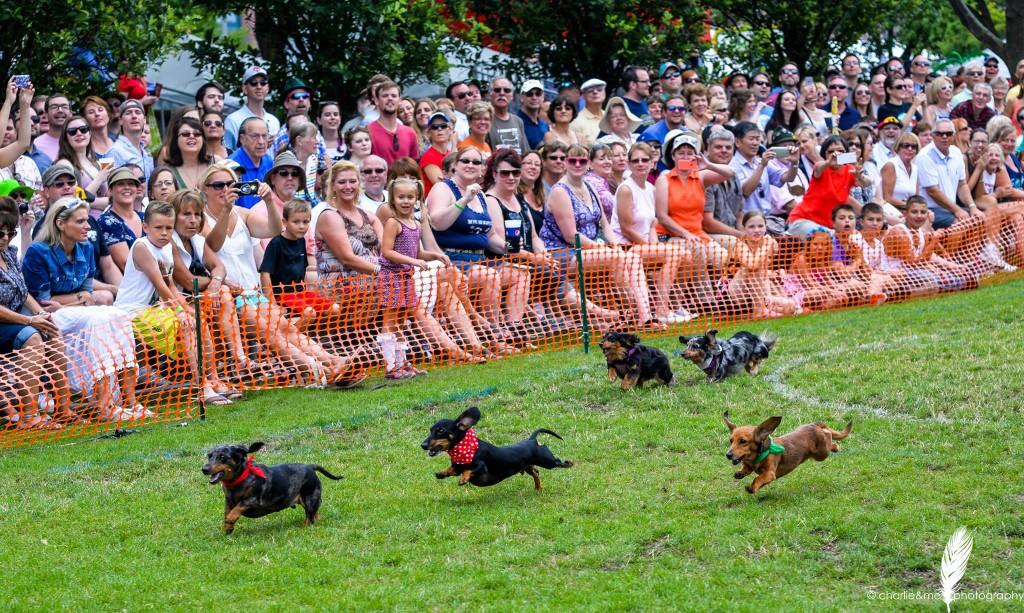 Dachshund Derby at German Fest. Photo courtesy of Visit Milwaukee
