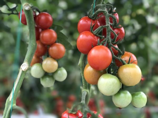 MightyVine Tomatoes