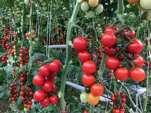 Tomato Clusters at Mighty Vine