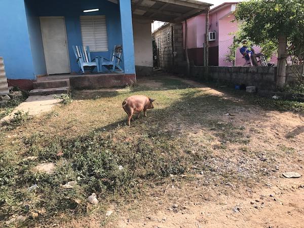 Pig in Cuba