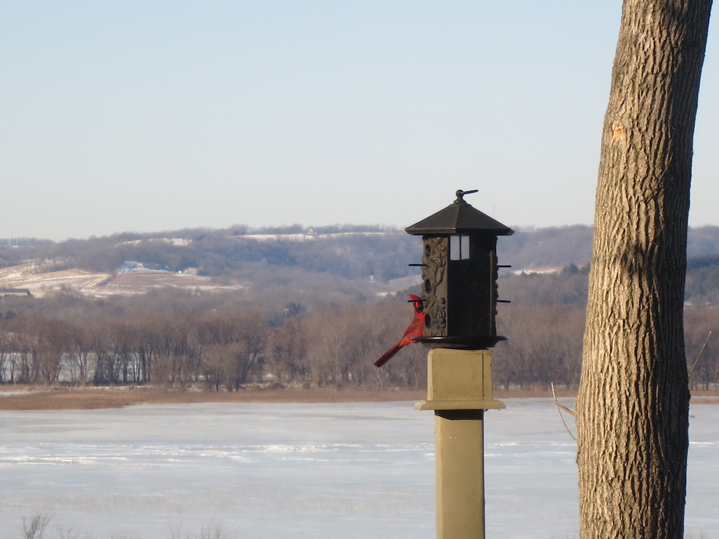 Cardinal Peaking out at Goldmoor Inn Galena Illinois