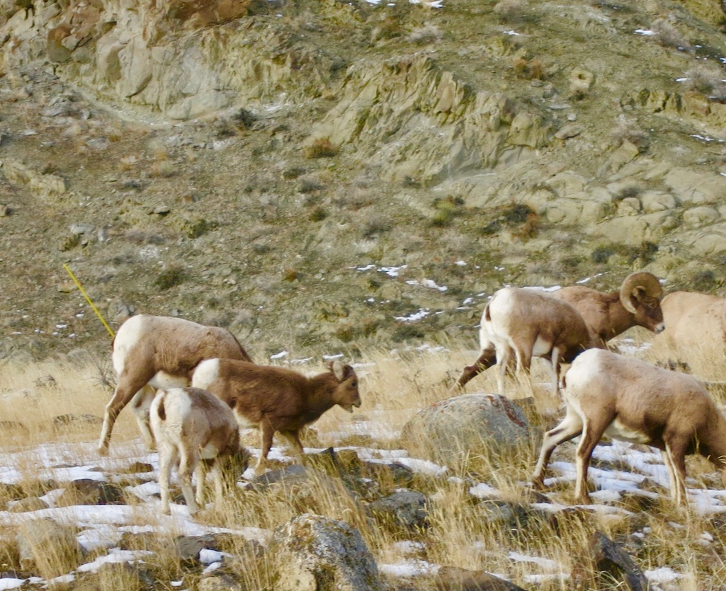 Big Horn Sheep On the side of the road Yellowstone