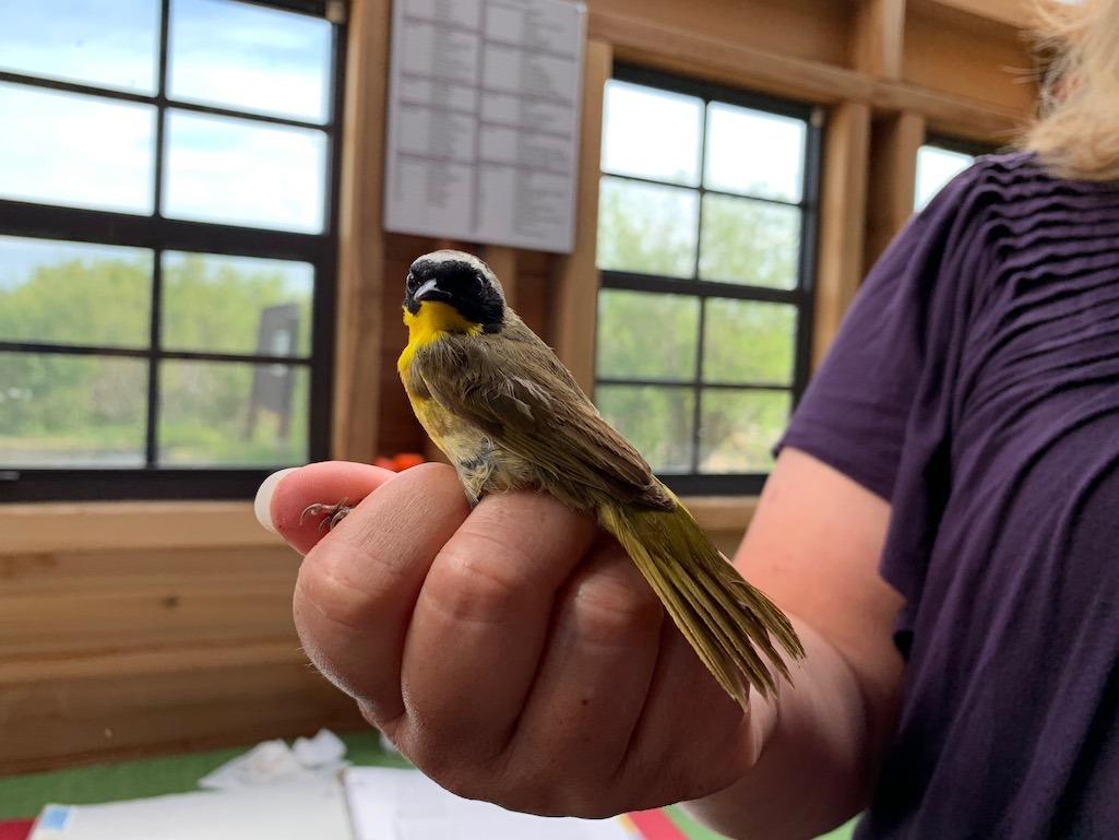 Bird banding at Oak Hammock Marsh Things to do in Winnipeg