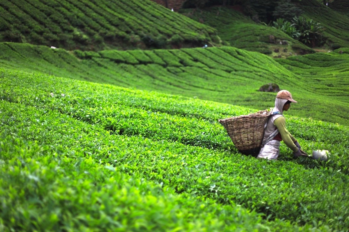 Carefully Cultivated Green Tea