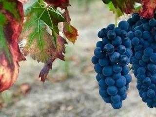 Portuguese Wine Grapes